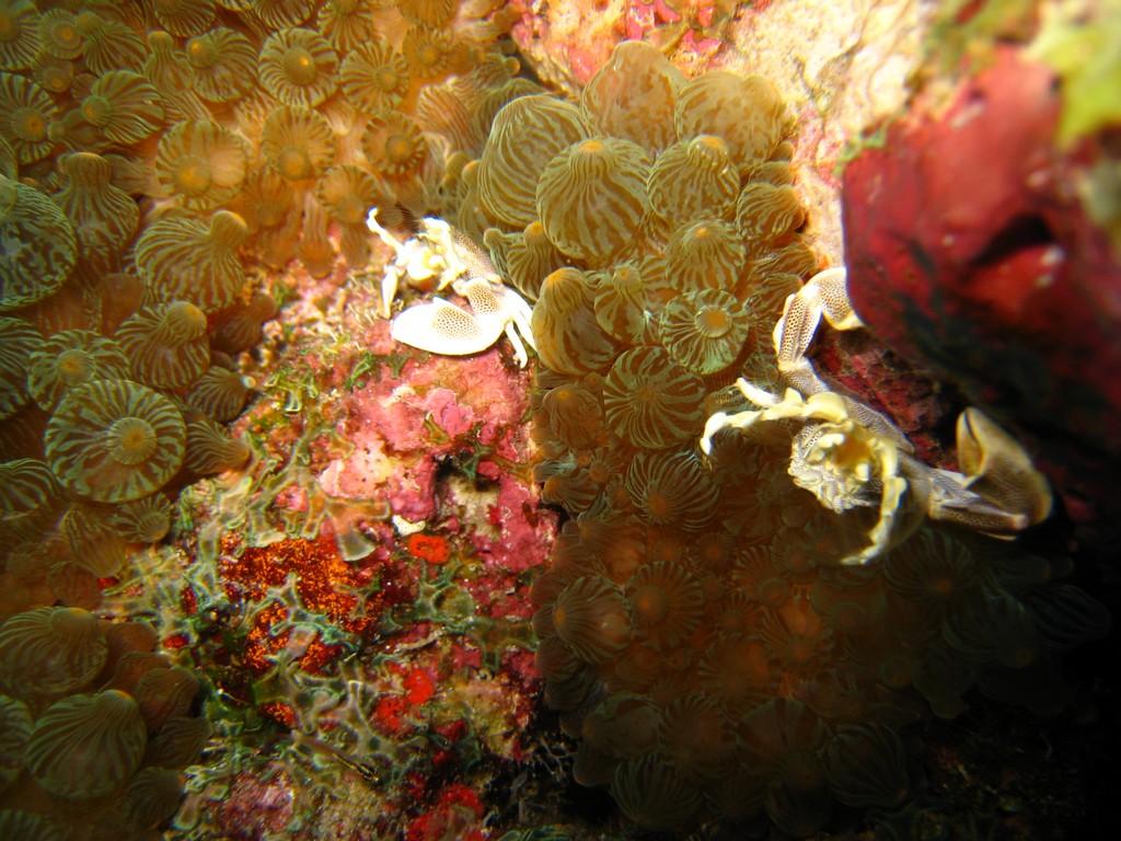 procellain crabs