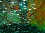 man sieht die Muräne vor lauter Glasfisch kaum...