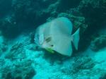 ein batfish (wie in der mitte des films)
