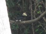 Nok Hornbill